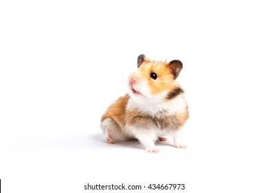 62921b0b71a curious hamster isolated on white background