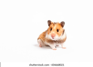 curious hamster isolated on white background