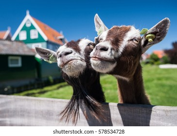 Curious happy goats grazing on a green grassy lawn near farm house in Holland. Funny closeup portrait of two smiling goats with beard and blue sky. Pet symbol of the year in the Chinese calendar.