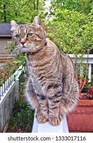 Curious Highland Lynx Tabby Cat on a Porch