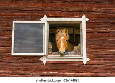 Curious horse sticks his head through a window and looks into the camera outdoors. Old window frame on red worn wooden barn wall.
