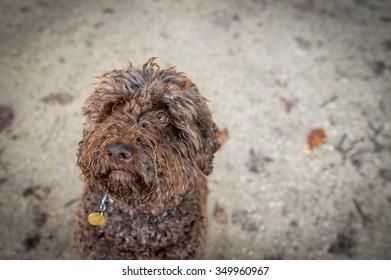 A curious Italian water dog