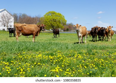 Curious Jerseys in Meadow