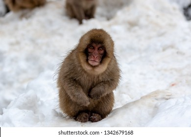 A curious juvenile Japanese macaque in the snow
