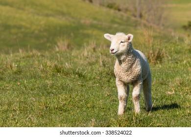 curious lamb standing on grass