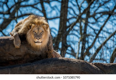 Curious Lion On Rock stares toward camera