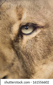 A curious lioness up close in detail.
