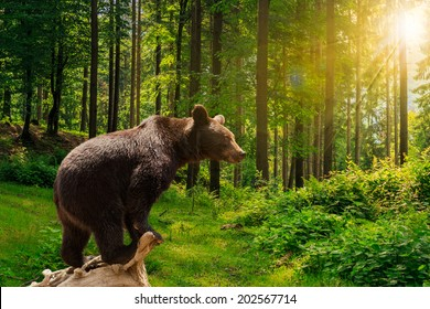 curious little bear on a dry lumber in the forest in sunlight rays