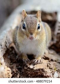 Curious little chipmunk on a log
