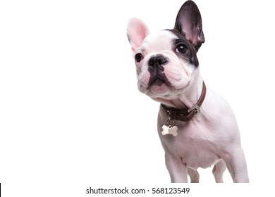 curious little french bulldog puppy dog looking up on white background