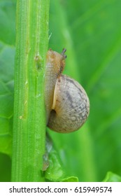 Curious little snail going up on leaf stalk