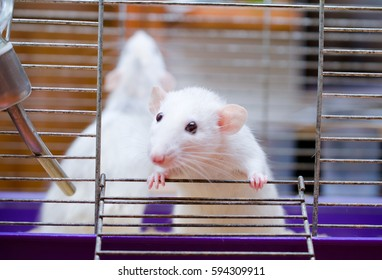 Curious little white rat in a cage (shallow DOF, selective focus on the rat paws)