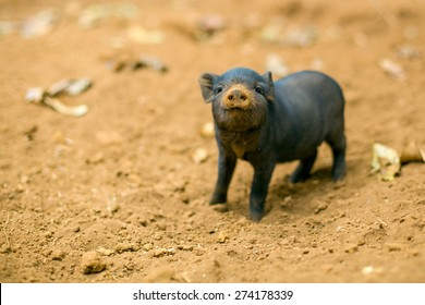 A curious looking baby piglet which is standing on brown soil, is looking straight at you.