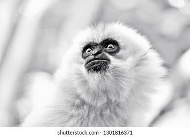 Curious looking gibbon