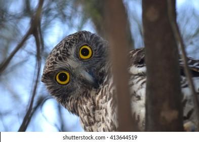 Curious looking Powerful Owl,, Sydney, Australia