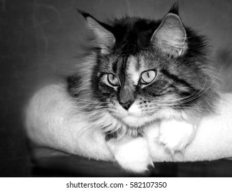 Curious maine Coon cat in black and white!