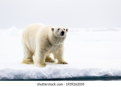 A curious male polar bear stands at the water's edge