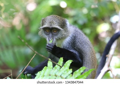 Curious monkey eat leaf in forest