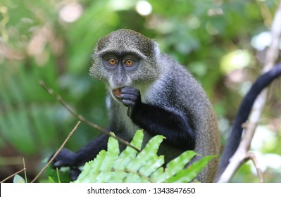 Curious monkey eat leaf in green forest