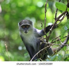 Curious monkey in green forest, zanzibar