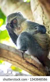 Curious monkey look from tree in green forest, Zanzibar