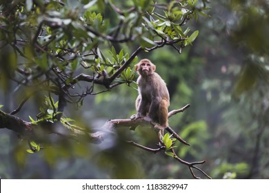 Curious monkey sways on a small branch from a tall tree in the misty forest of Naddi, India.