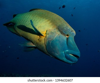 Curious Napoleon wrasse With a blue background - Palau