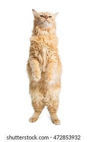 Curious orange color tabby cat standing tall on hind legs with head up