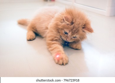 Curious Orange Kitten Plays with a Red Dot from a Laser Pointer