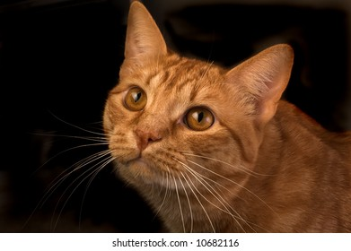 Curious orange tabby cat isolated agianst a black background