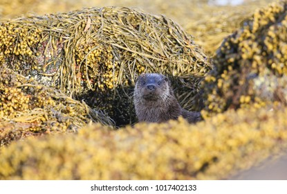 A curious Otter (Lutra lutra) looking out  between rocks covered in seaweed on the shoreline of the sea loch on the Isle of Mull, Scotland after fishing.