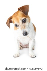 Curious pensive looking dog Jack Russel terrier. Sitting and looking down. White background
