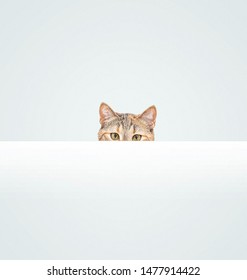 Curious pet cat of ginger color peeking out from behind a blank white banner, copy-space. Staring at camera.