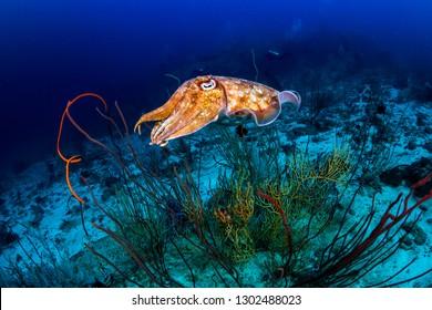 A curious Pharaoh Cuttlefish (Sepia pharaonis) on a deep, dark tropical coral reef (Similan Islands)