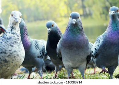 Curious pigeons standing on the grass in a city park