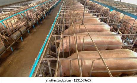 Curious pigs in Pig Breeding farm in swine business in tidy and clean indoor housing farm, with pig mother feeding piglet