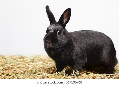 Curious playful black rabbit standing on hay and looking in to camera