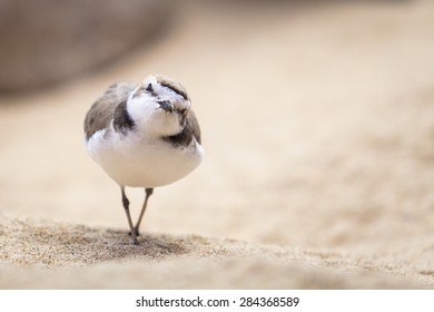 Curious Plover Bird Looking at Camera.