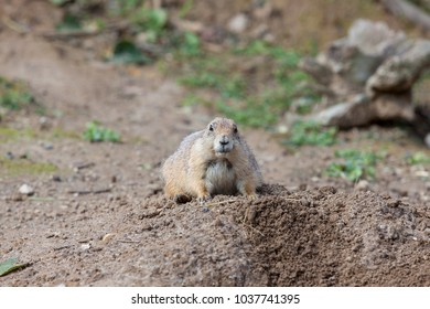 curious prairie dog (genus Cynomys)