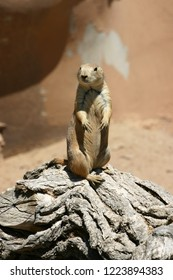 A curious prairie dog sits alertly erect atop a log in the desert