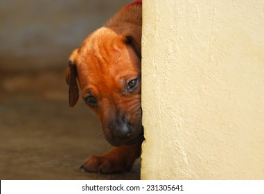 A curious purebred Rhodesian Ridgeback hound dog puppy looking around the corner from behind a wall with blurry background inside.