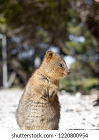 curious Quokka looking off to the to the right