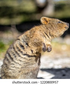 A curious Quokka looking off to the to the right
