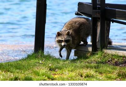 Curious raccon on Toronto Island / Canada