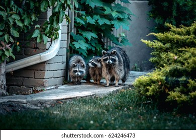 Curious Raccoon Family