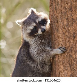 Curious racoon is climbing a tree, Holland