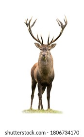 Curious red deer, cervus elaphus, stag looking into camera isolated on white background. Majestic male mammal with strong antlers standing on green grass from front view cut out on blank.
