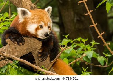 A curious Red Panda climbing in a tree