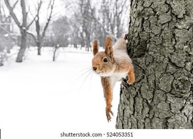 curious red squirrel sitting on tree trunk in winter forest