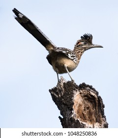 A curious Roadrunner stands atop a tree stump surveying his area.